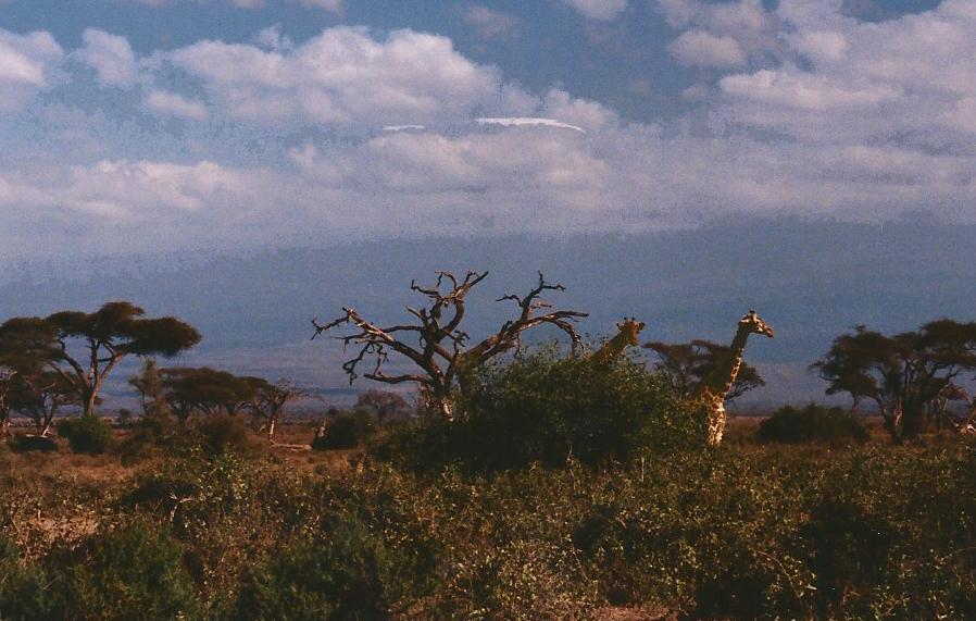 giraffes0001