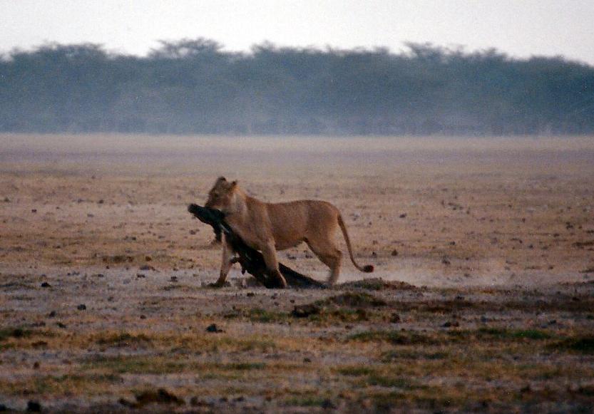 lioness0001