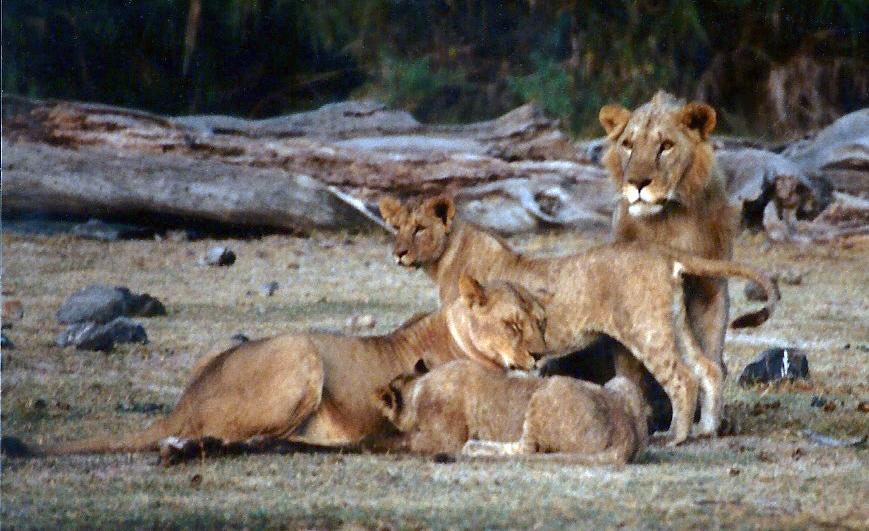 lions20001